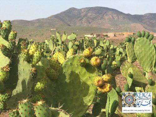 © 2019 Prickly Pears field in Morocco KENZA International Beauty