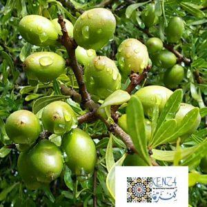 Argan Tree Morocco