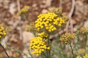 Helichrysum Immortelle Plant in Provence