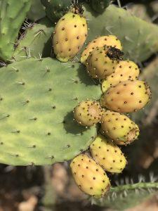 Prickly Pear Cactus fruits in Morocco by Khadija Fajry KENZA International Beauty