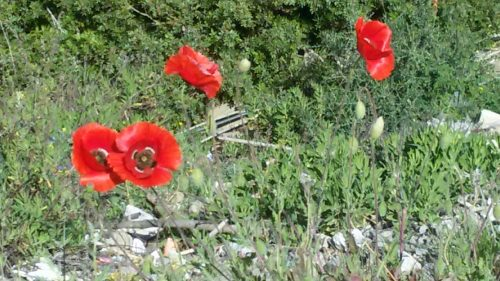 Red Poppy Flowers in Morocco
