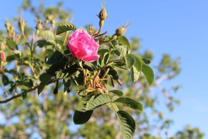 Rose Maroc KENZA International Beauty