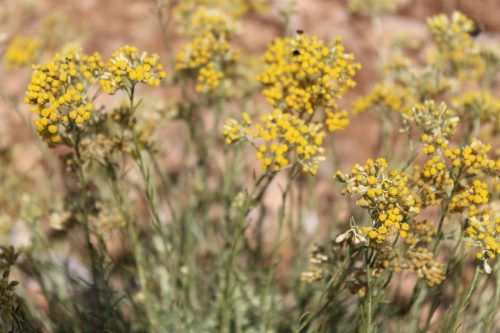 Field of Helichrysum Italicum Flowers in Provence