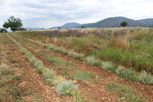 Helichrysum Italicum Flowers Field in Provence