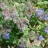 Plant with Blue Flowers Mountain Tangier